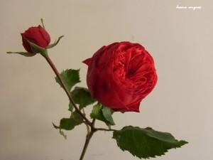 hana angres flower