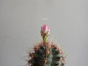 hana angers flower